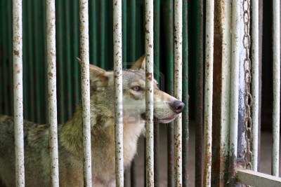 12417969-wolf-in-the-cage-at-the-zoo